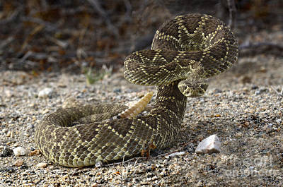 Mohave Green Rattlesnake Striking Position Art Print by Bob Christopher