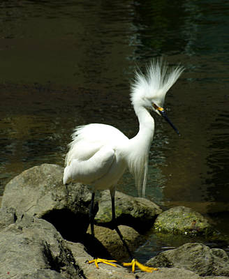 Labelle Photograph - Mohawk Egret by Lorenzo Williams