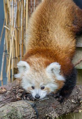 Panda Cub Photograph - Mohu Emerges by Greg Nyquist