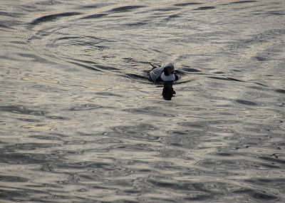 Photograph - Moire Silk Water And A Long Tailed Duck by Georgia Mizuleva
