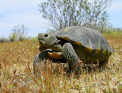 Photograph - Mojave Desert Tortoise by Roberto Prusso