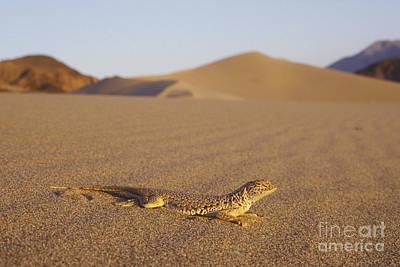 Photograph - Mojave Fringe-toed Lizard by Dan Suzio