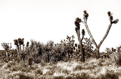 Photograph - Mojave Joshua by John Rizzuto