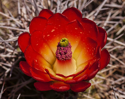 Photograph - Mojave Mound Cactus by Lee Kirchhevel