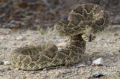 Mojave Green Rattlesnake Ready And Willing Art Print by Bob Christopher