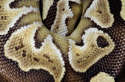 Ball Python Photograph - Mojave Royal Python by Nigel Downer