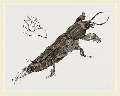 Cricket Drawing - Mole-cricket by Litz Collection