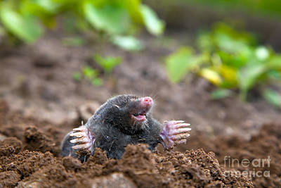 Mound Photograph - Mole In Ground by Michal Bednarek