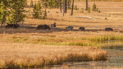 Photograph - Mollie Pack Fight Over Grizzly Kill by Brenda Jacobs