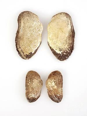 Arca Photograph - Mollusc Shells by Natural History Museum, London