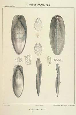 Molluscs Art Print