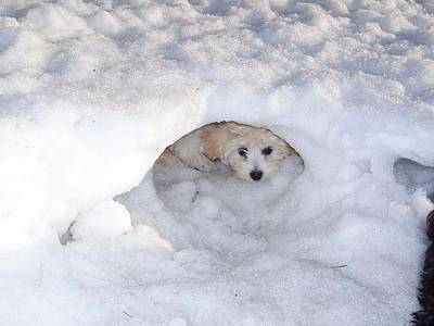 Photograph - Molly Hidding In Her Snow Cave by Sheila Byers