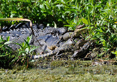Photograph - Mom And Baby Alligators by Kathy Baccari