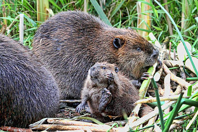 Photograph - Mom And Baby Beaver by Peggy Collins