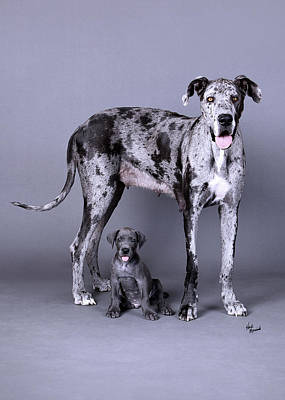 Photograph - Mom And Son Great Danes by Heidi Marcinik