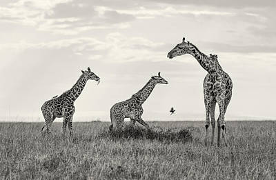 Mom And Twin Giraffes Art Print by June Jacobsen