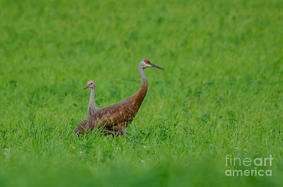 Photograph - Mom Crane And Child by Cheryl Baxter