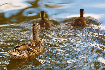 Photograph - Mom Mallard Swimming With Her Ducklings by Nick  Biemans