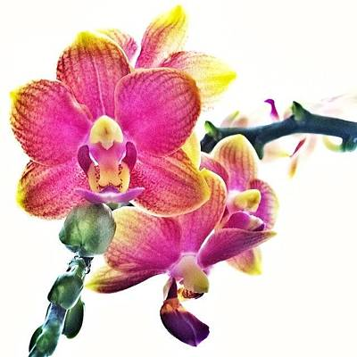 Orchids Photograph - Mom, Sorry! @sweetmary807 #orchid by Nicole Sweet