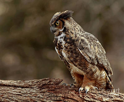 Moments In The Forest Great Horned Owl  Art Print