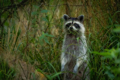 Photograph - Momma Coon by Kim Henderson