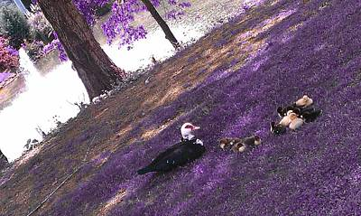 Photograph - Momma Duck And Chicks by Kenny Glover