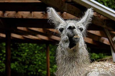 Llama Digital Art - Momma Llama by Jen  Brooks Art