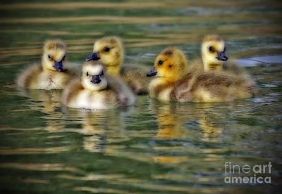 Photograph - Momma's Little Gooslings by Elizabeth Winter