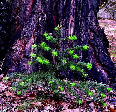 Photograph - Mommy And Baby Pines by Jeff Lowe