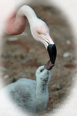 Photograph - Mommy Flamingo Feeding Her Baby by Jim Fitzpatrick