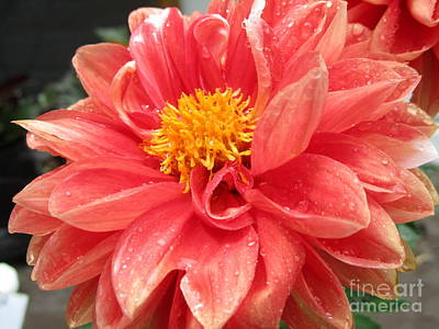 Photograph - Mom's Lovely Dahlia by Jaclyn Hughes Fine Art
