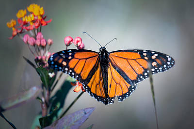 Photograph - Monarch #1 by Brad Grove