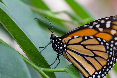 Photograph - Monarch 1 by Leah Palmer