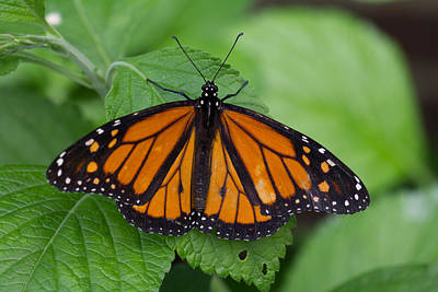 Photograph - Monarch 3 by Leah Palmer