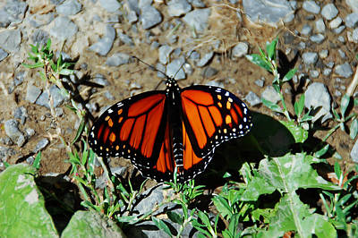 Photograph - Monarch by Aimee L Maher ALM GALLERY