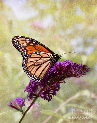 Photograph - Monarch Alight On Butterfly Weed by Barbara McMahon