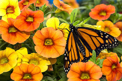 Monarch Photograph - Monarch Among The Flowers by Garry Gay