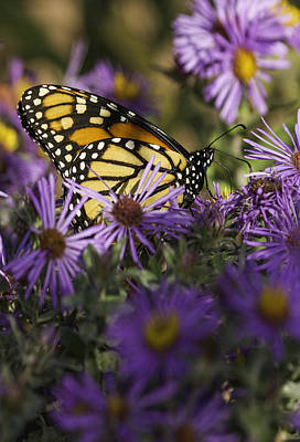 Fox Valley Photograph - Monarch And Asters by Thomas Young