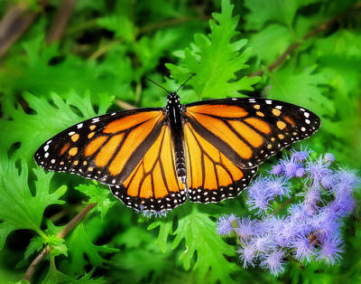 Photograph - Monarch And Blue Mist by David and Carol Kelly