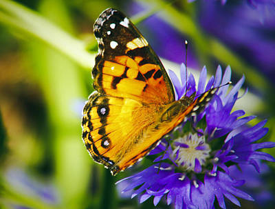 Photograph - Monarch And Flower by Debra Crank