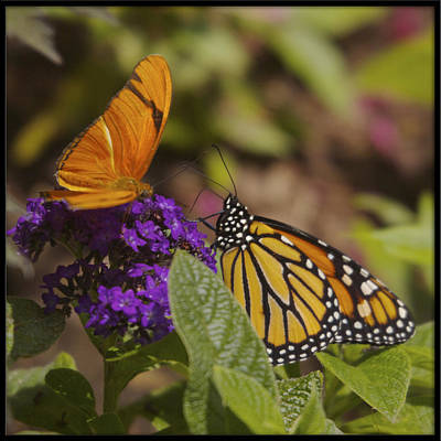 Photograph - Monarch And Julia Butterflies by Heidi Hermes