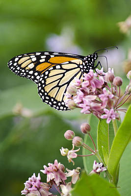 Monarch And Milkweed Art Print by Christina Rollo