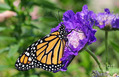 Monarch And Pincushion Flower Art Print by Steve Augustin