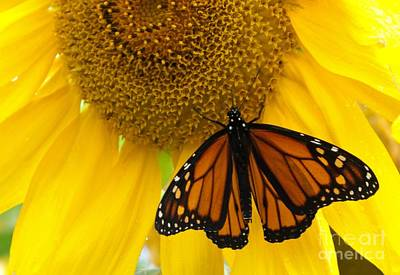 Monarch And Sunflower Art Print by Ann Horn