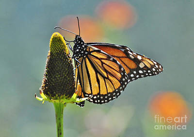 Photograph - Monarch At Dusk by Kathy Baccari