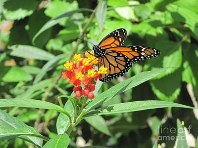 Photograph - Monarch At Rest by HEVi FineArt