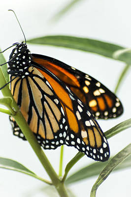 Monarch Beauty Art Print by Carolyn Marshall