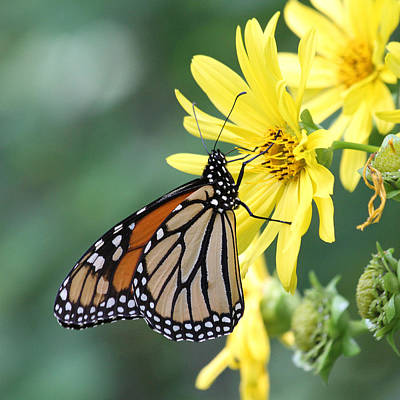 Print featuring the photograph Monarch Beauty by Doris Potter