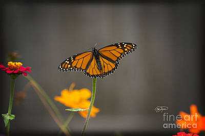 Photograph - Monarch Bloom by Cris Hayes