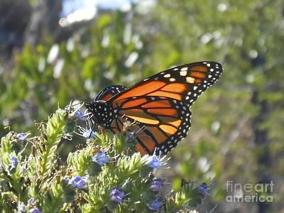Photograph - Monarch  by Bridgette Gomes